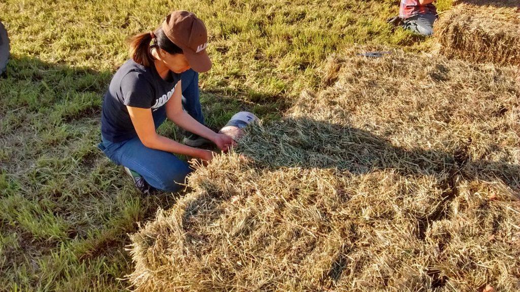 加拿大HelpX打工換宿學習綁稻草堆 haybales