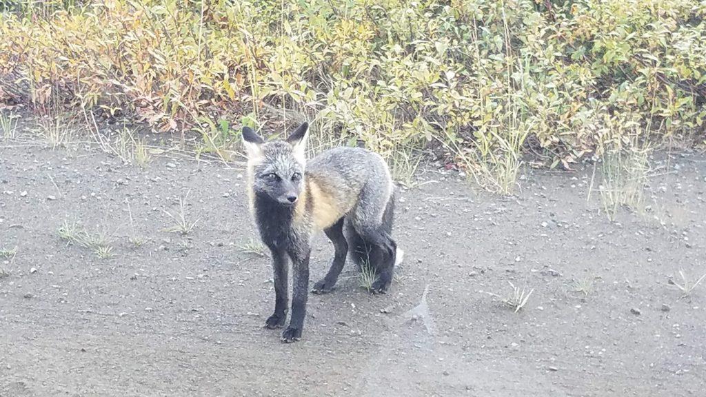 北極銀狐Silver Fox in Canadian Arctic